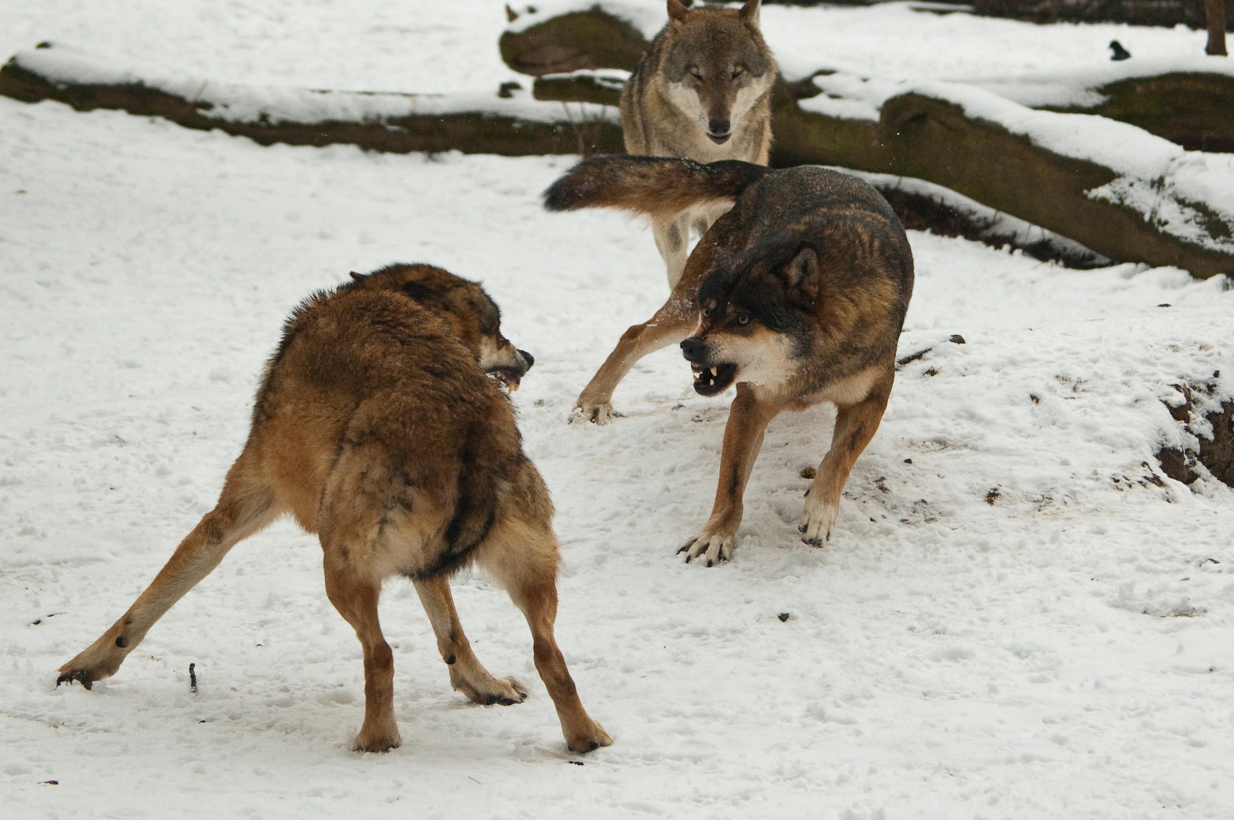 Fight_In_Wolf_Pack_II_by_amrodel